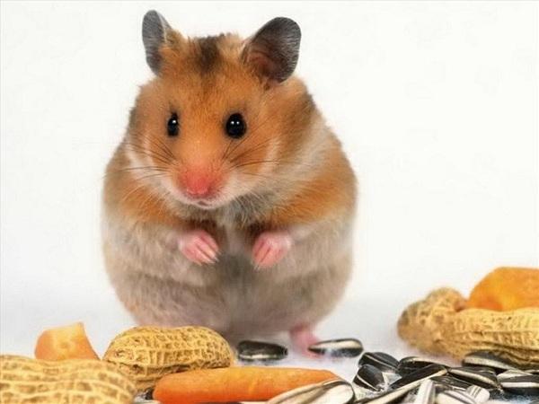 Mơ thấy chuột báo hiệu điều gì?