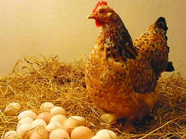 Nằm mơ thấy gà điềm lành hay xấu? Chiêm bao số nào?