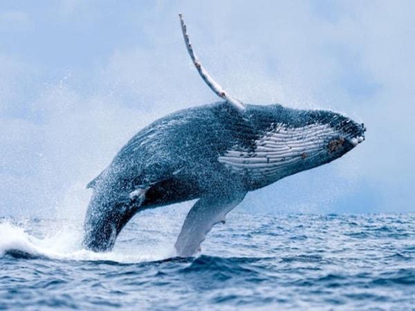 Mơ thấy cá voi là điềm báo lành hay dữ?
